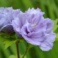 庭のムクゲ(1)「紫玉」
