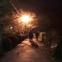 甘木公園、夜桜、枝見(笑)
