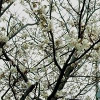 一足早く桜が満開に
