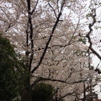 3/25〜3/26桜満開
