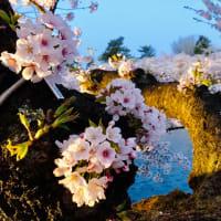 弘前公園のさくら満開❣️