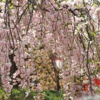 2019年 広島造幣局の八重桜 /  箏演奏 「讃歌」