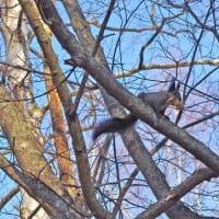 北国の工夫 Hokkaido squirrel