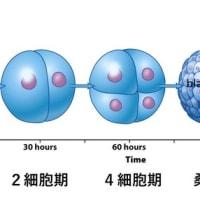 受精から着床まで