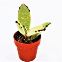 可愛いミニ多肉植物 ハピフルリーフ & コスモス