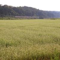2009年秋 北陸本線牛ノ谷駅付近 ソバの花と特急「雷鳥号」  (久しぶりにあの年の秋)