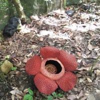 幻の蘭咲く森、ボルネオ島、マレーシア