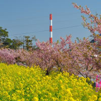 2020延岡花物語・このはなウォーク ~ 菜の花と河津桜と風車のアート