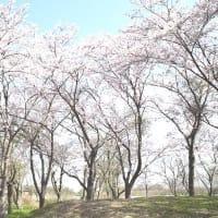 琵琶湖一周 ドライブスルー花見