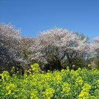 「桜」/昭和記念公園(2019春)