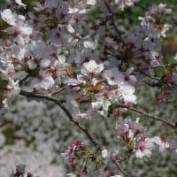 桜残り物放出