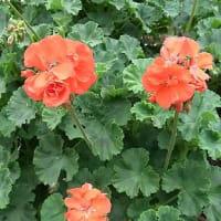 季節の花「ゼラニューム」