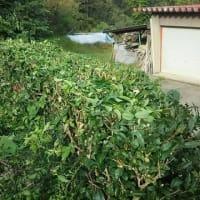 お茶屋のお遊びでで、手作りのお茶を作るため、山の家で植えているお茶の木・・・冬に備え、刈込しました。