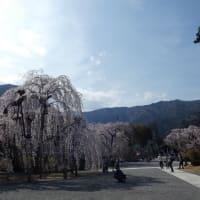 久遠寺のしだれ桜
