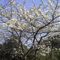 根獅子の桜