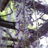 ふじの咲く丘散策~藤の花~