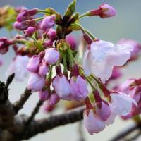 ワラビも多く顔を見せ・・・ソメイヨシノも咲き始め
