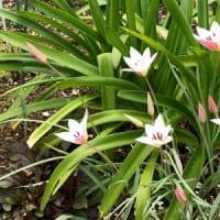 原種チューリップが今年も咲いた