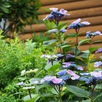紫陽花(2)ロッジ舞洲にて