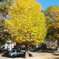 空っぽのキャンプ場を 彩る黄金の木々