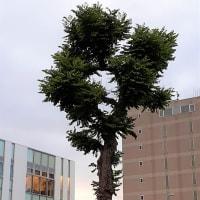 昔「アカシア」と呼ばれていた木 <お花で一休み(71)>