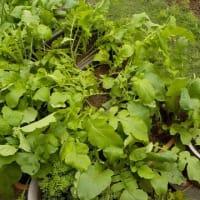 プランターの根菜たち