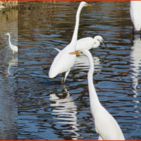 鷺の集う川