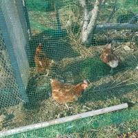 鶏の平飼い・ひらがい