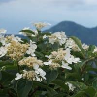 今日の花は ノリウツギ