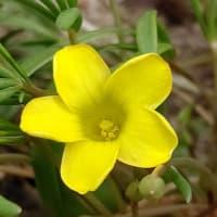 ホソバウンラン ヒメツルソバ オキザリス・フラバの花