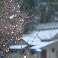 薄く雪化粧:岡山城&後楽園