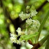 イタドリ         花の森を知っている          東京都江東区恩賜の森