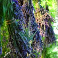 ラベンダーの収穫、乾燥