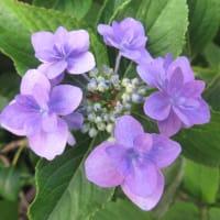 紫陽花「城ケ崎の雨」 3
