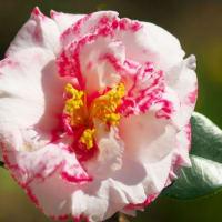 変り咲き椿
