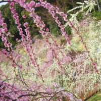 viewing plum blossoms