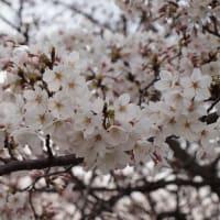 2010年の桜。