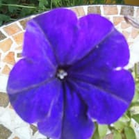 ジュリー旅計画の日の濃紫星
