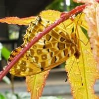 もみじの葉陰で雨宿り
