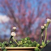 💖今日も花見!河津桜は満開を過ぎてます💖
