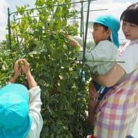 なすの苗植え・さやえんどうの収穫