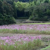 姫路市香寺町 コスモス畑・赤そばの花畑 '21