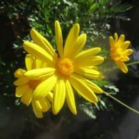 花の戯言:デージー&テランセラ から