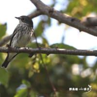 秋で~す・・・エゾビタキ Episode1
