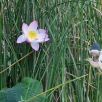 ハスの花のところに、ヨシゴイが飛んで来た。