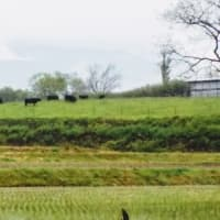 けむる大山、牛、田植え