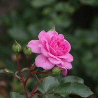 孤高のバラ、一輪