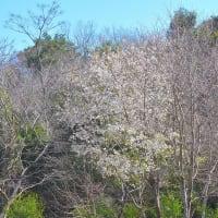 延岡植物園 早咲きの桜(2種類) 2020年2月27日 満開でした。