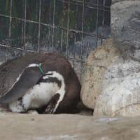 ペンギンのタマゴあたため中