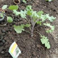 週のはじめに考える 選挙さえまっとうなら /キャべツと白菜などの苗を植えました